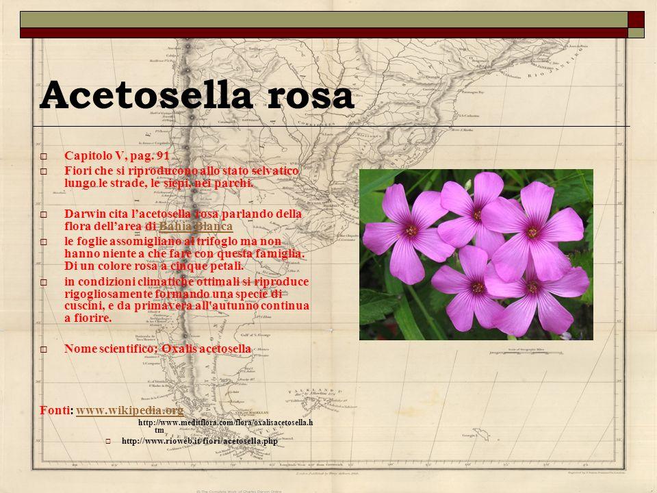 Acetosella rosa Capitolo V, pag. 91