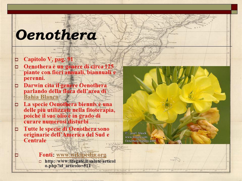 Oenothera Capitolo V, pag. 91