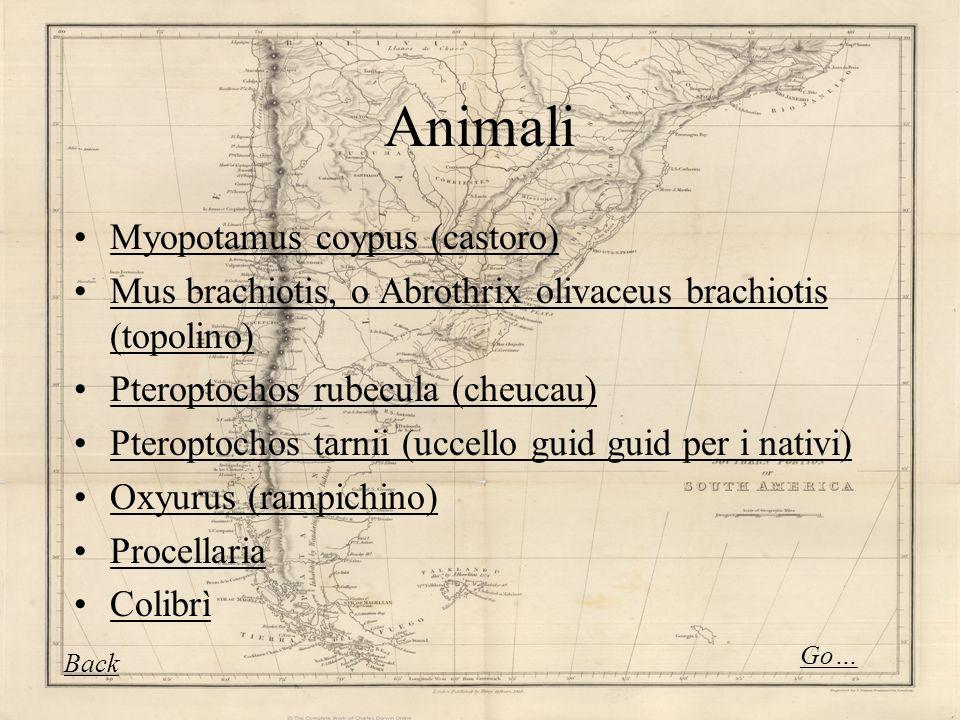 Animali Myopotamus coypus (castoro)