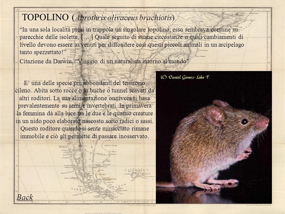 TOPOLINO (Abrothrix olivaceus brachiotis)