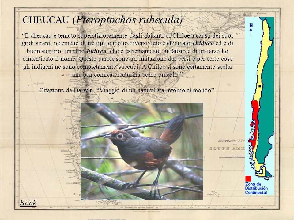 CHEUCAU (Pteroptochos rubecula)