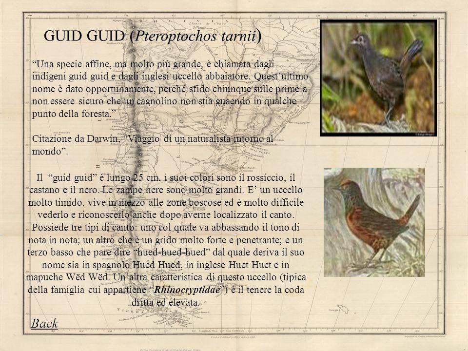 GUID GUID (Pteroptochos tarnii)