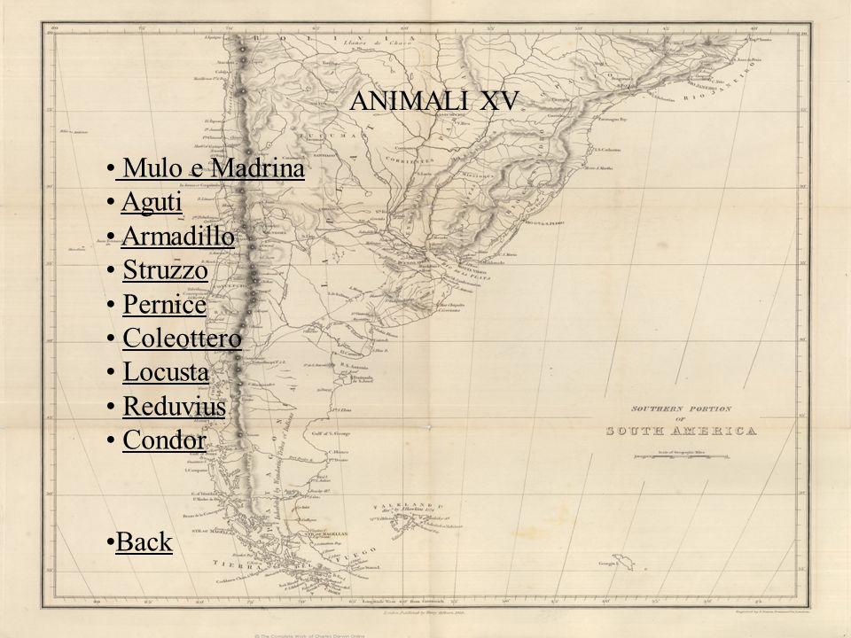 ANIMALI XV Mulo e Madrina Aguti Armadillo Struzzo Pernice Coleottero Locusta Reduvius Condor Back