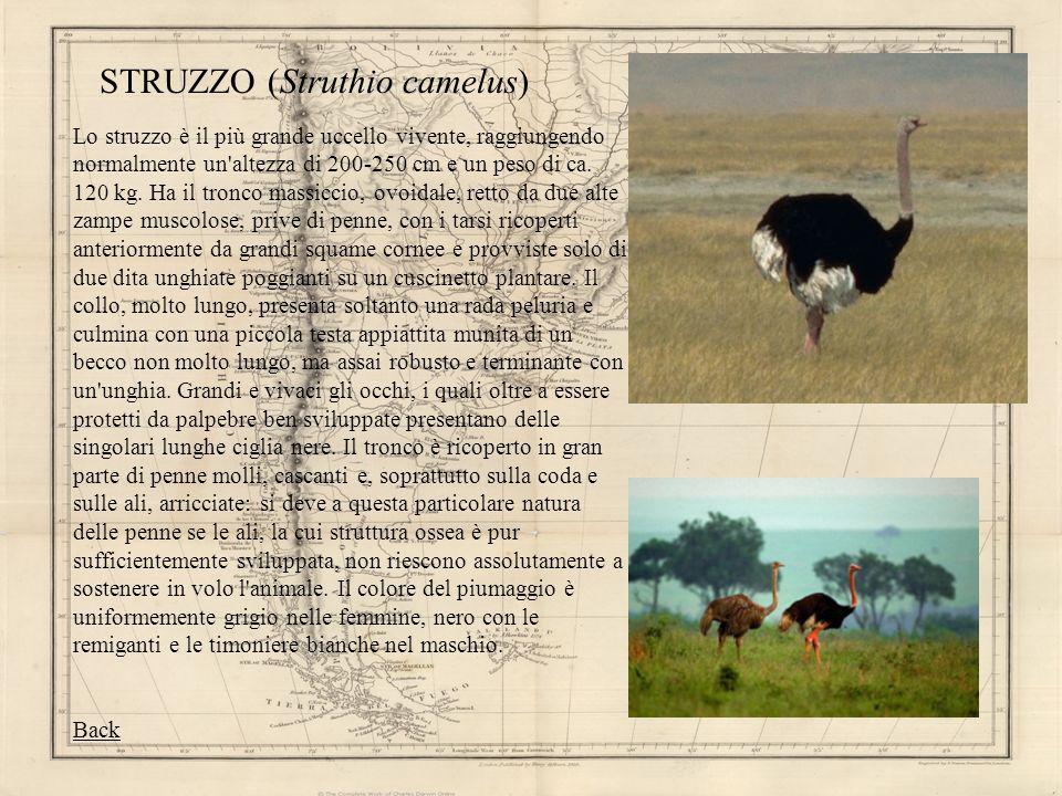 STRUZZO (Struthio camelus)