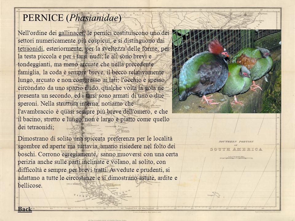 PERNICE (Phasianidae)