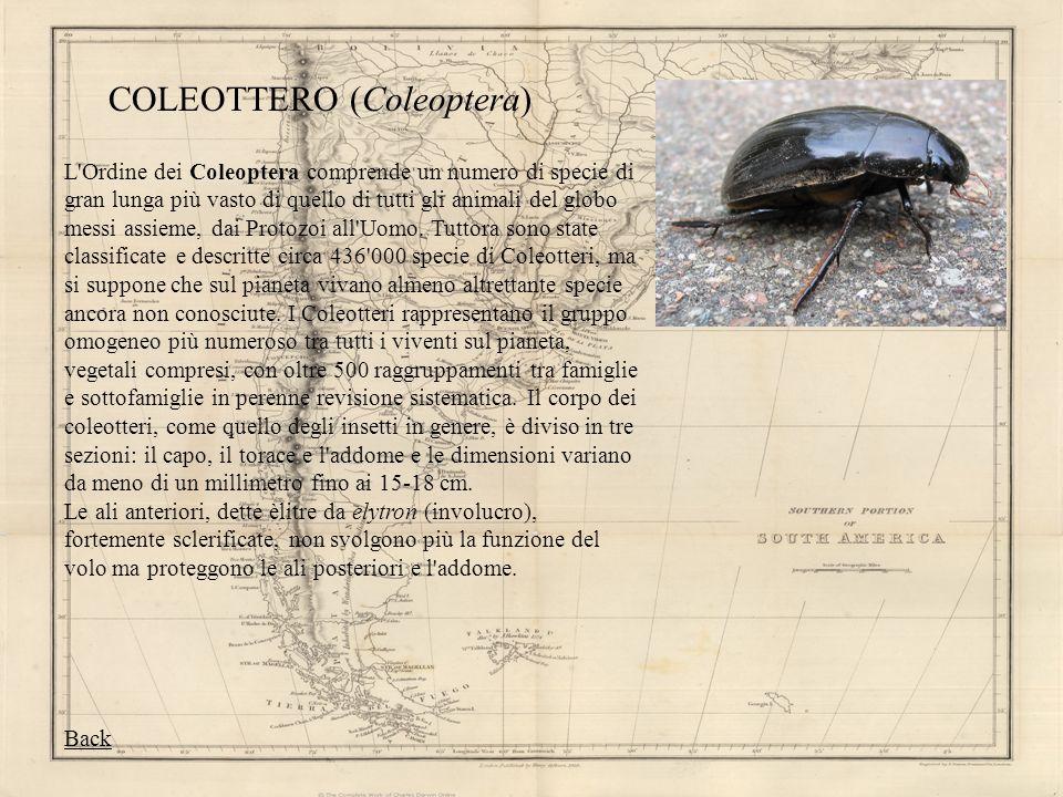 COLEOTTERO (Coleoptera)