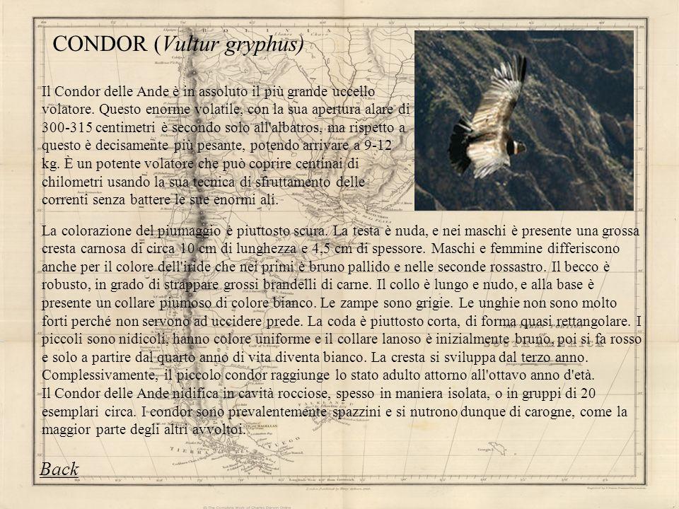 CONDOR (Vultur gryphus)