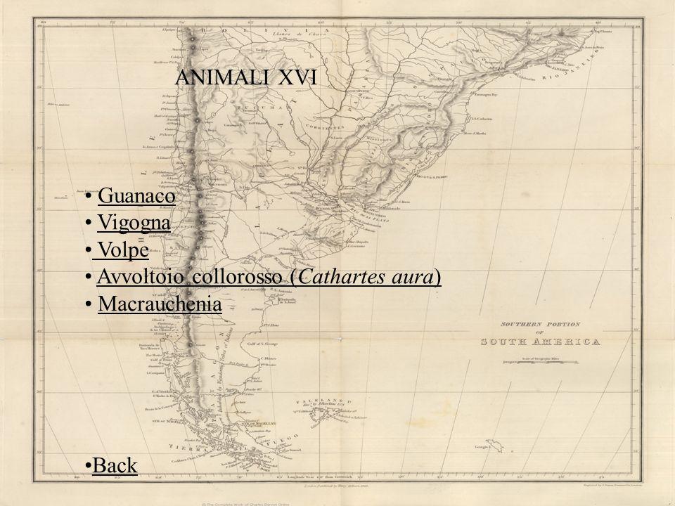 ANIMALI XVI Guanaco Vigogna Volpe Avvoltoio collorosso (Cathartes aura) Macrauchenia Back