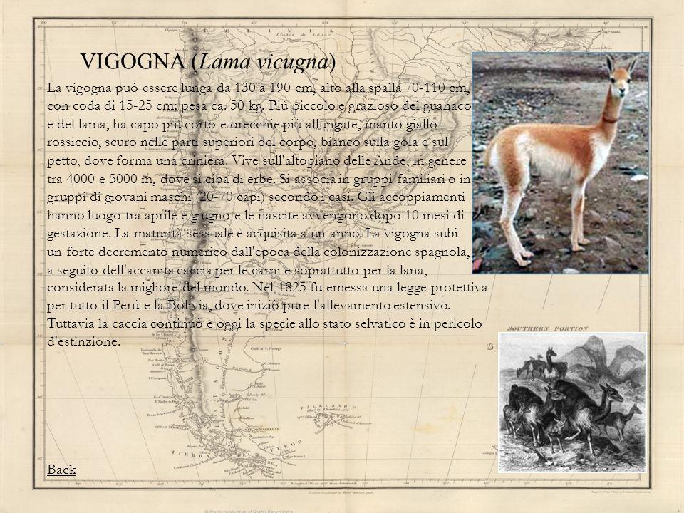 VIGOGNA (Lama vicugna)
