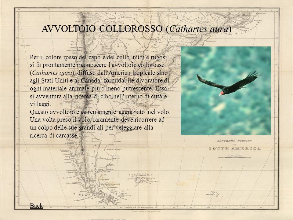 AVVOLTOIO COLLOROSSO (Cathartes aura)