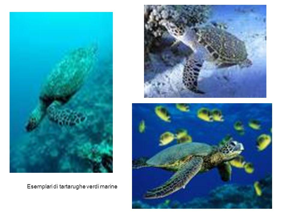 Esemplari di tartarughe verdi marine