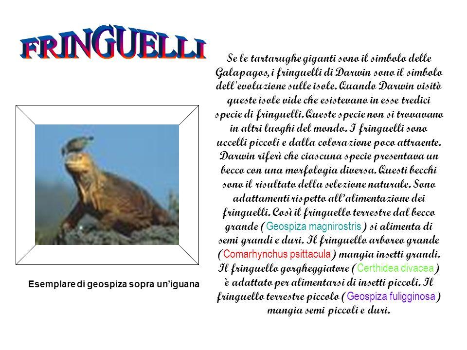 FRINGUELLI