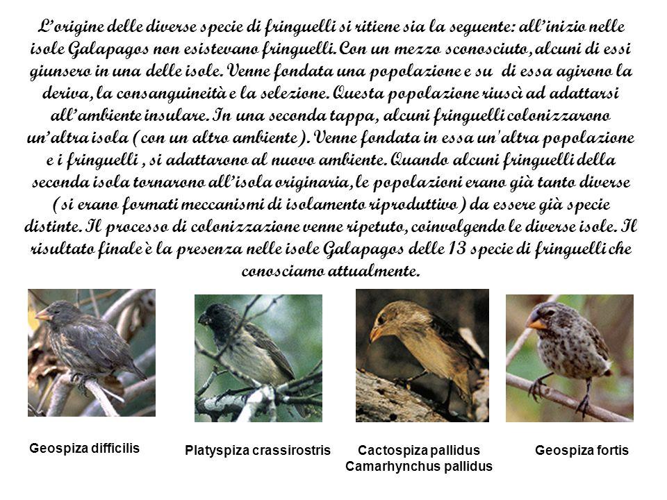 Camarhynchus pallidus
