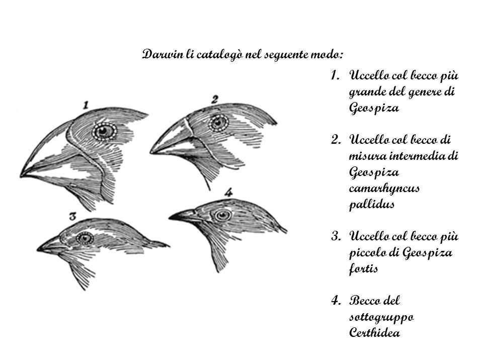 Darwin li catalogò nel seguente modo: