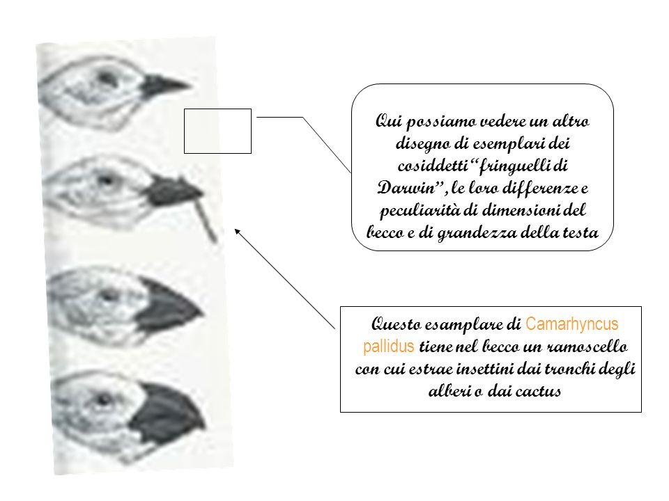 Qui possiamo vedere un altro disegno di esemplari dei cosiddetti fringuelli di Darwin , le loro differenze e peculiarità di dimensioni del becco e di grandezza della testa