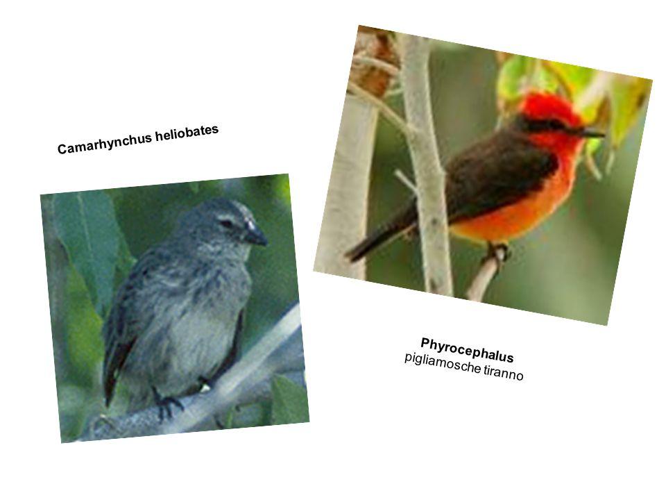 Camarhynchus heliobates