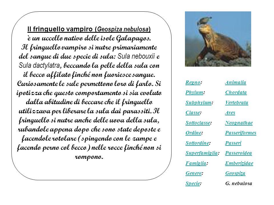 è un uccello nativo delle isole Galapagos.
