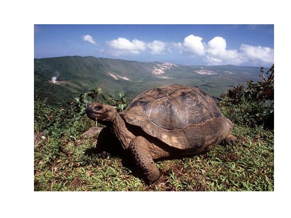 Le tartarguhe sono l'esemplare faunistico emblematico di queste isole, infatti Galapago significa tartaruga. Le tartarughe hanno sempre costituito una grande risorsa per gli abitanti delle isole, che ne fanno il loro principale nutrimento. Purtroppo da sempre sono state soggette alla caccia di bucanieri, che ne prendevano a centinaia, la carne di tartaruga, messa sotto sale, si mantiene per molto tempo.