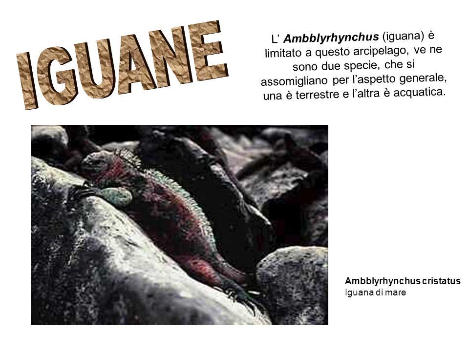 L' Ambblyrhynchus (iguana) è limitato a questo arcipelago, ve ne sono due specie, che si assomigliano per l'aspetto generale, una è terrestre e l'altra è acquatica.