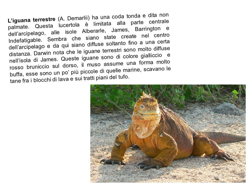 L'iguana terrestre (A. Demarlii) ha una coda tonda e dita non palmate