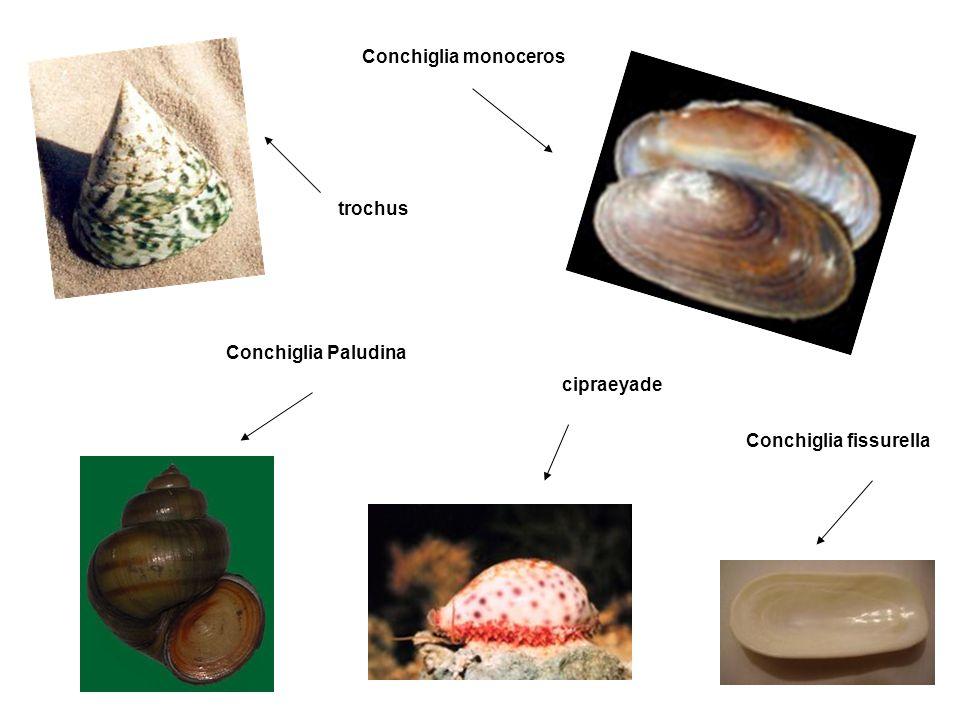 Conchiglia monoceros trochus Conchiglia Paludina cipraeyade Conchiglia fissurella