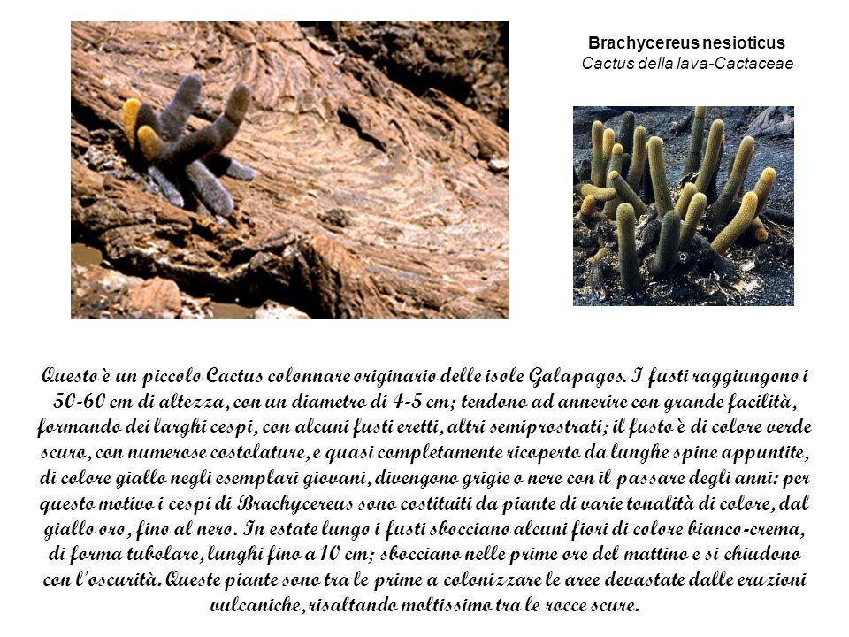 Brachycereus nesioticus Cactus della lava-Cactaceae
