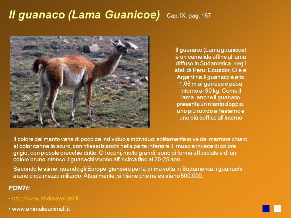 Il guanaco (Lama Guanicoe)