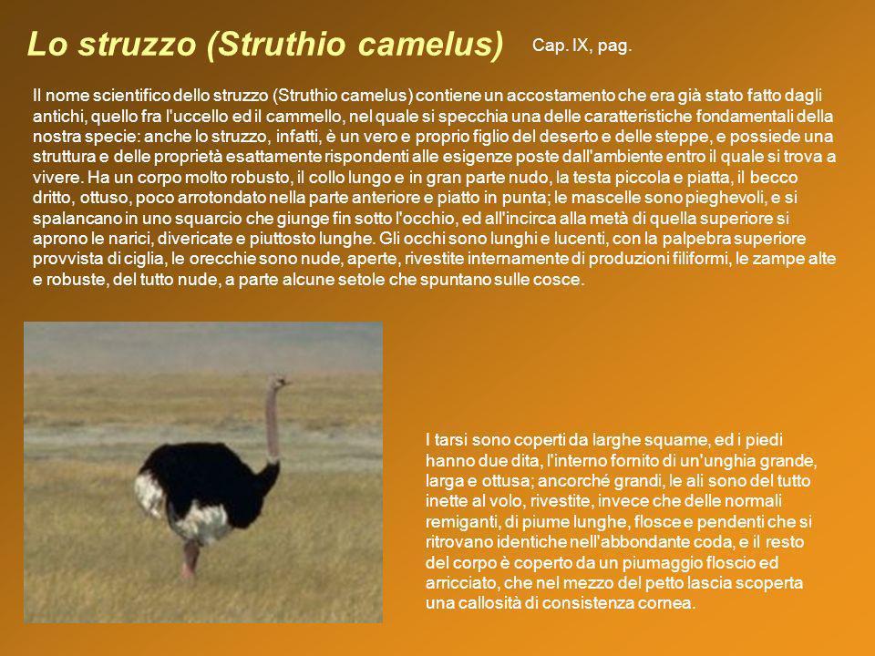 Lo struzzo (Struthio camelus)
