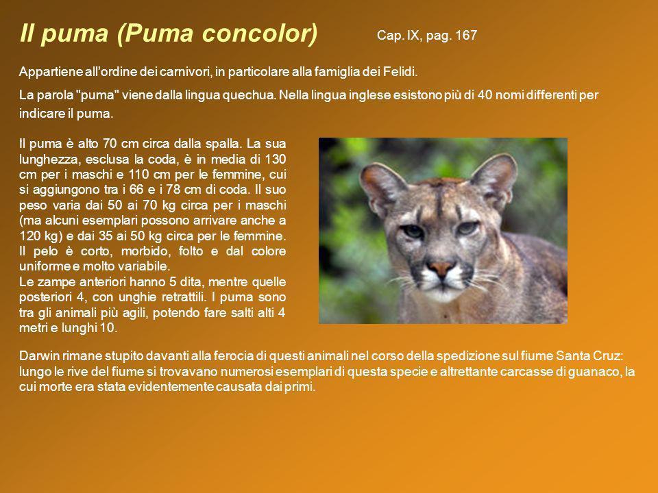 Il puma (Puma concolor)