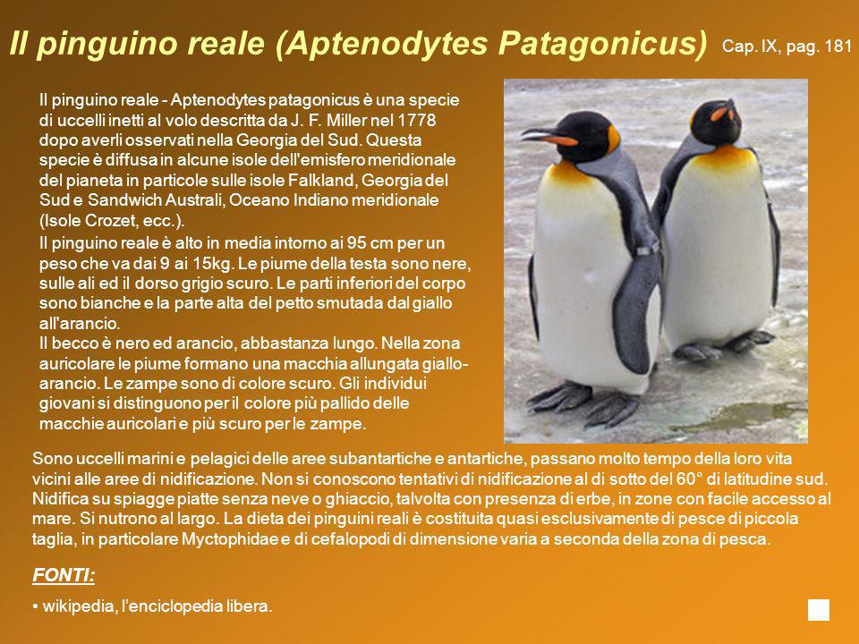 Il pinguino reale (Aptenodytes Patagonicus)
