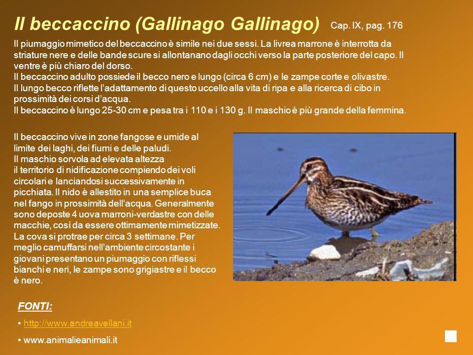 Il beccaccino (Gallinago Gallinago)