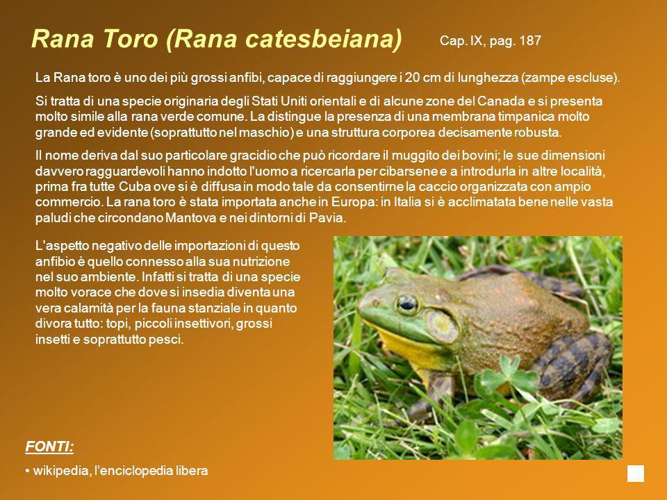 Rana Toro (Rana catesbeiana)