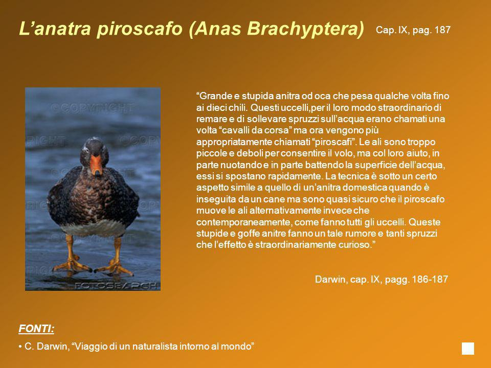 L'anatra piroscafo (Anas Brachyptera)