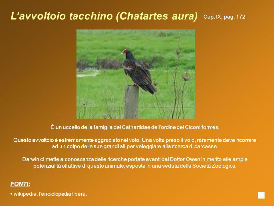 L'avvoltoio tacchino (Chatartes aura)