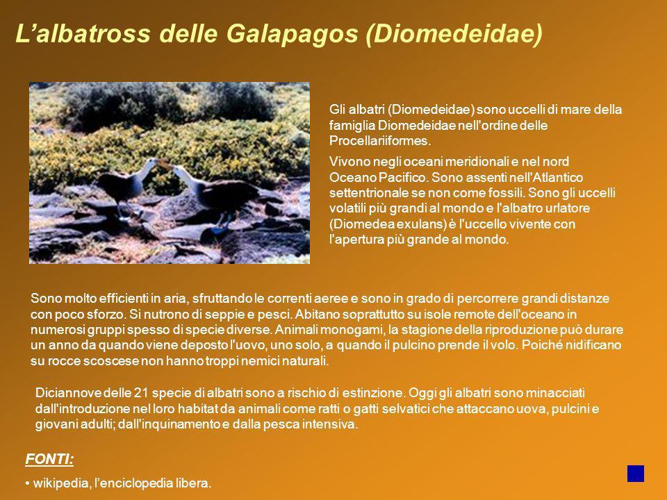 L'albatross delle Galapagos (Diomedeidae)