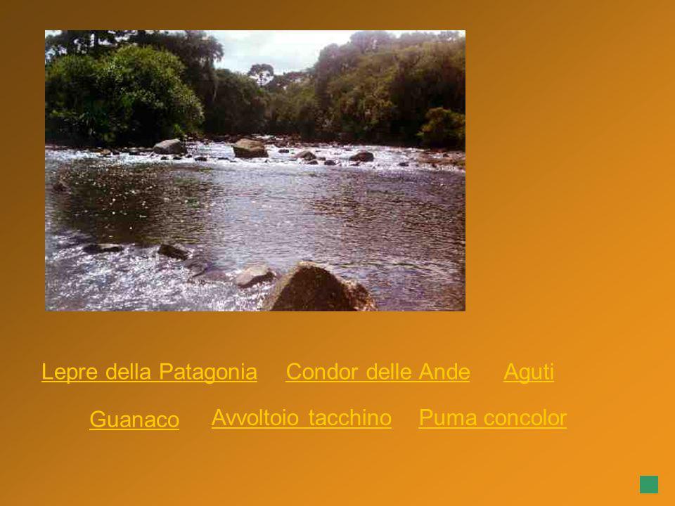Lepre della Patagonia Condor delle Ande Aguti Guanaco Avvoltoio tacchino Puma concolor