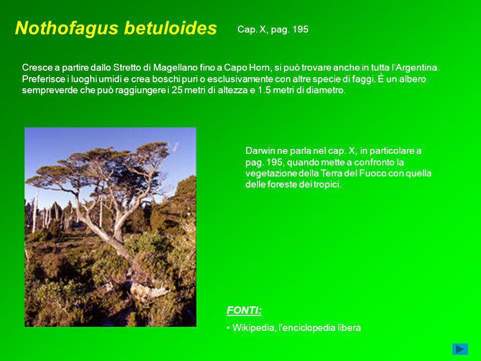 Nothofagus betuloides