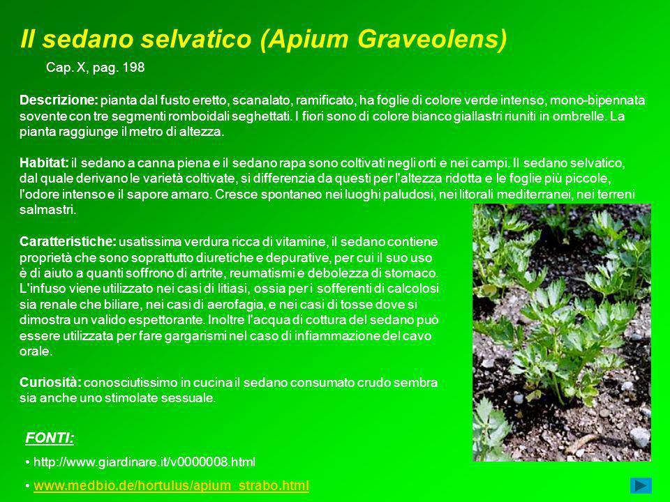Il sedano selvatico (Apium Graveolens)