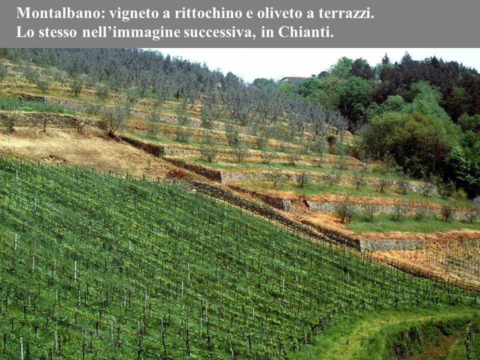 Montalbano: vigneto a rittochino e oliveto a terrazzi.