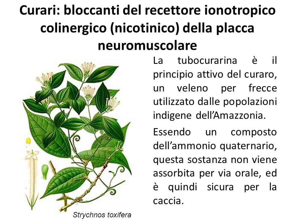 Curari: bloccanti del recettore ionotropico colinergico (nicotinico) della placca neuromuscolare