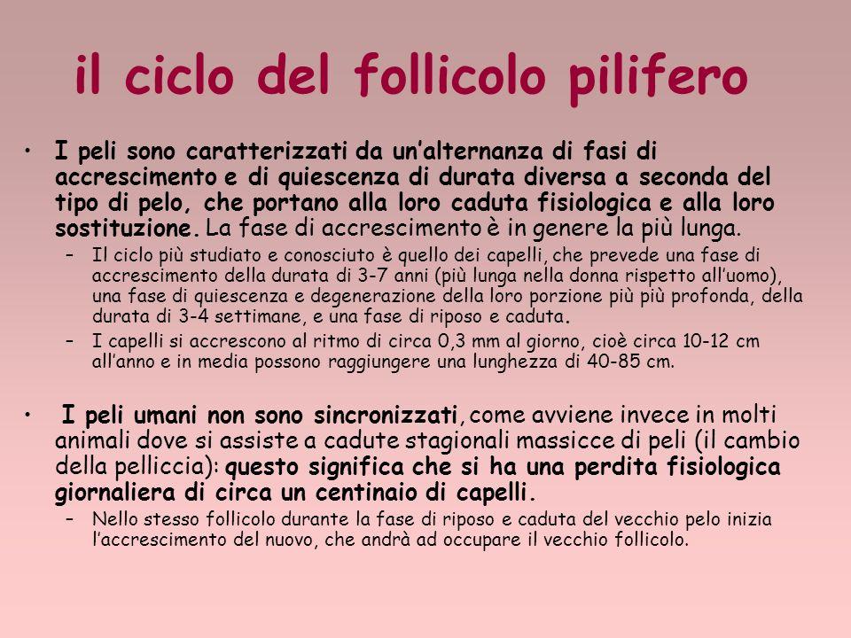 il ciclo del follicolo pilifero