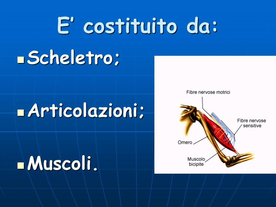E' costituito da: Scheletro; Articolazioni; Muscoli.