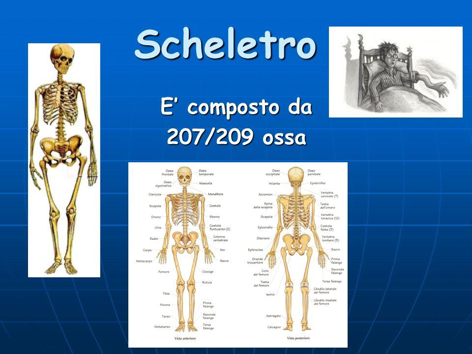 Scheletro E' composto da 207/209 ossa