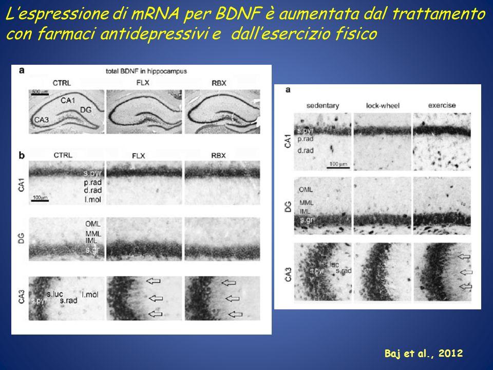 L'espressione di mRNA per BDNF è aumentata dal trattamento con farmaci antidepressivi e dall'esercizio fisico