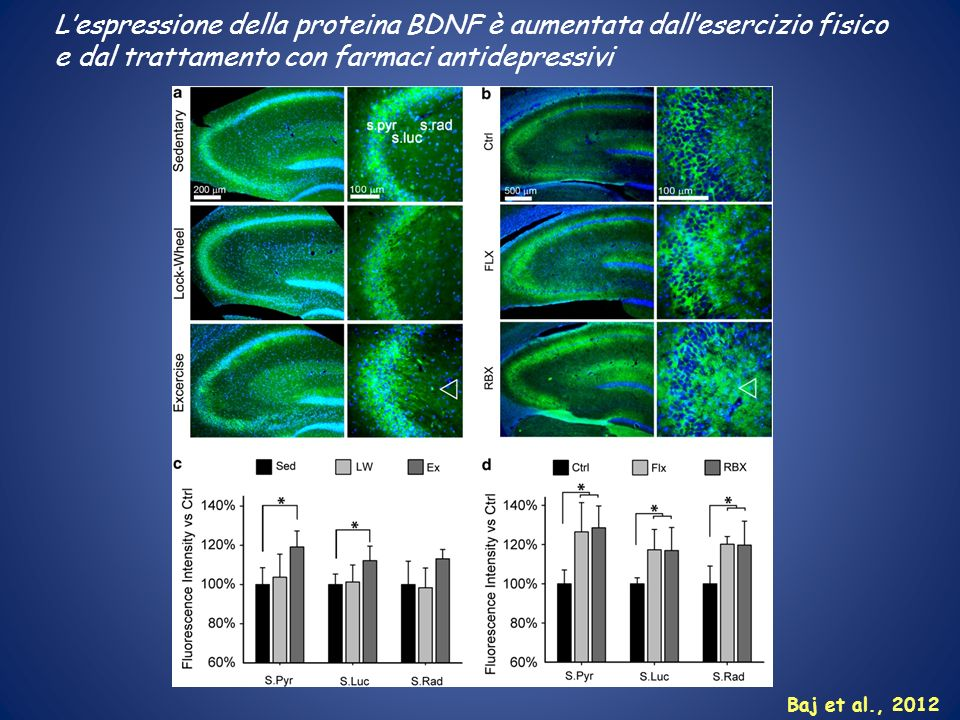 L'espressione della proteina BDNF è aumentata dall'esercizio fisico