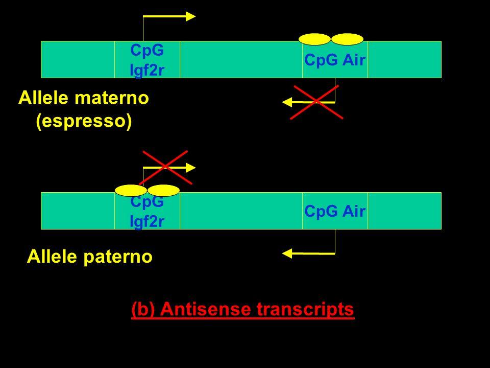 Allele materno (espresso) (b) Antisense transcripts