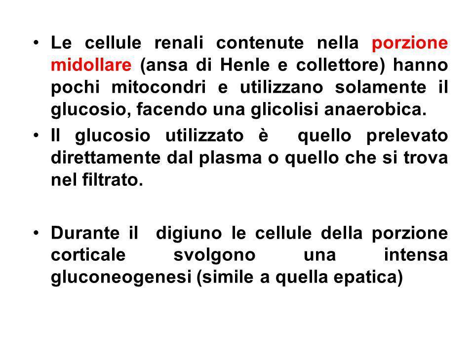 Le cellule renali contenute nella porzione midollare (ansa di Henle e collettore) hanno pochi mitocondri e utilizzano solamente il glucosio, facendo una glicolisi anaerobica.