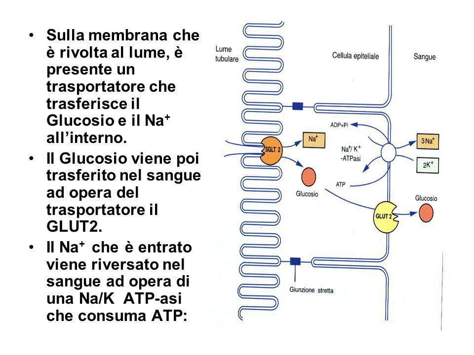 Sulla membrana che è rivolta al lume, è presente un trasportatore che trasferisce il Glucosio e il Na+ all'interno.