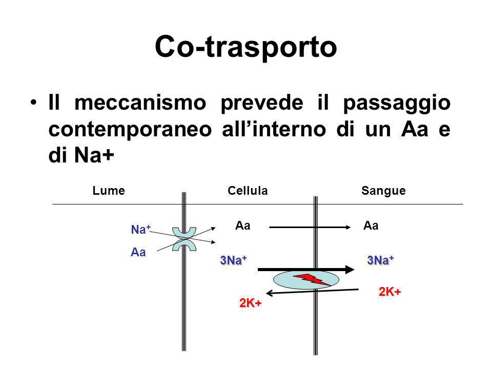 Co-trasportoIl meccanismo prevede il passaggio contemporaneo all'interno di un Aa e di Na+ Lume. Cellula.