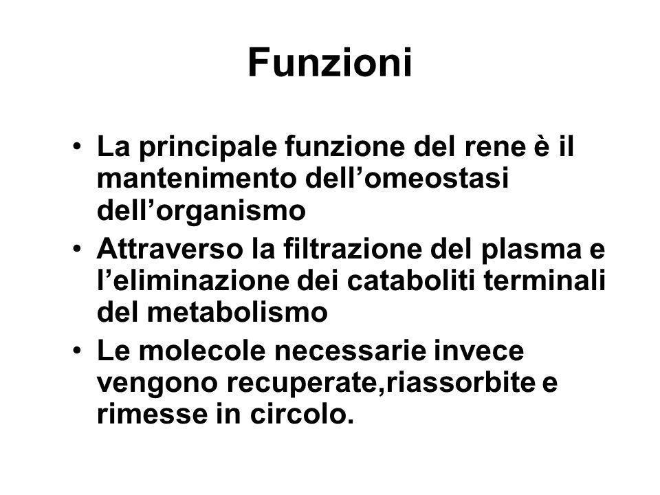 FunzioniLa principale funzione del rene è il mantenimento dell'omeostasi dell'organismo.